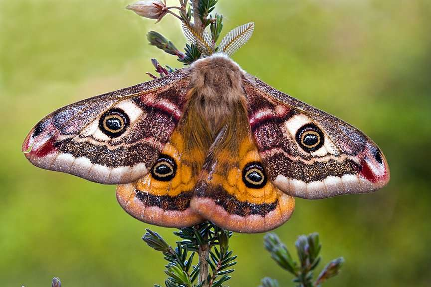 Emperor moth, Irish Wildlife Photography